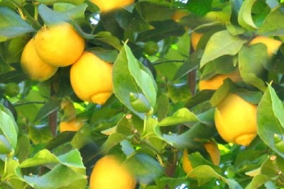 image lemon tree