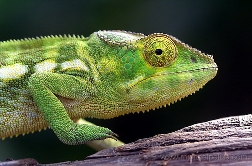 cameleon change de couleur