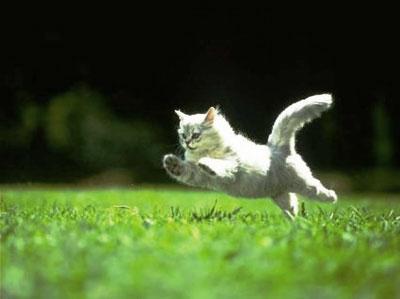 chat : saut incroyable