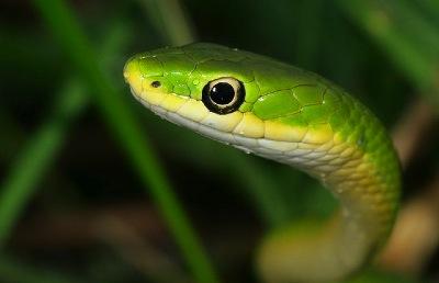 peindre un serpent