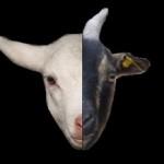 goat lucky
