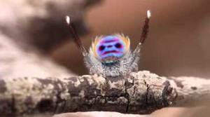 araignée qui danse