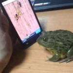 crapaud joue sur smartphone